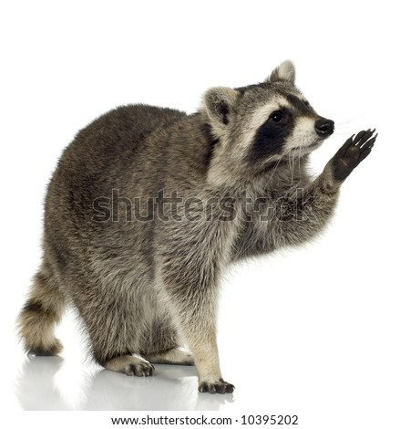 raccoon (9 months) - Procyon lotor in front of a white background - stock photo