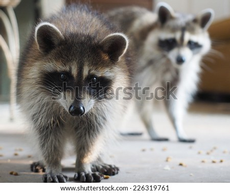 Raccoon Mother and Child - stock photo