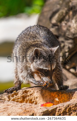 Raccoon on the stone in Mexico - stock photo