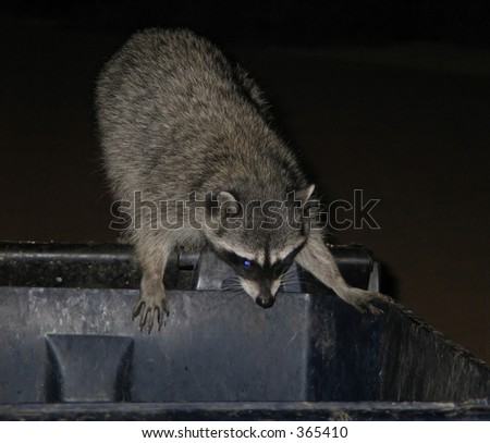 raccoon over a garbage can