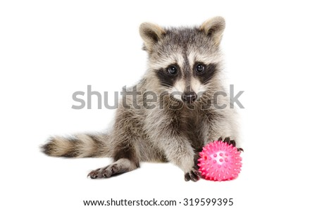 Raccoon playing toy ball sitting isolated on white background - stock photo