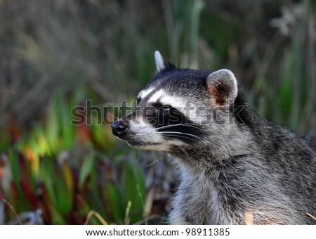 raccoon portrait - stock photo