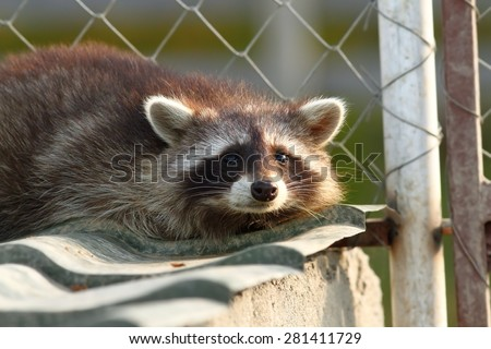 raccoon portrait at the zoo ( Procyon lotor ) - stock photo