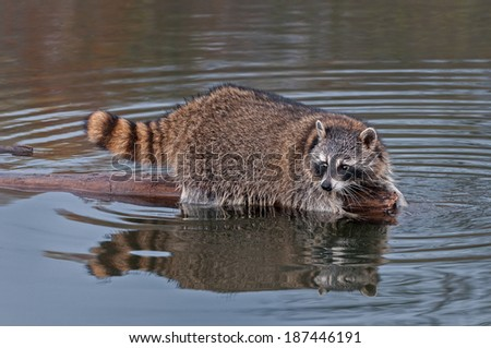 Raccoon (Procyon lotor) Looks Back from End of Log - captive animal - stock photo