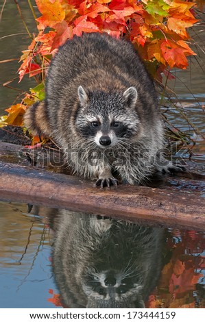 Raccoon (Procyon lotor) Looks Directly at Viewer - captive animal - stock photo
