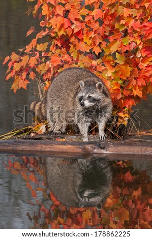 Raccoon (Procyon lotor) on Log with Reflection - captive animal - stock photo