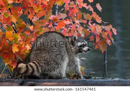Raccoon (Procyon lotor) Shows Teeth  - captive animal - stock photo