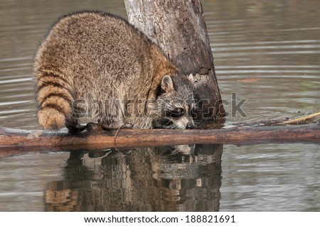 Raccoon (Procyon lotor) Sniffs at Log - captive animal - stock photo