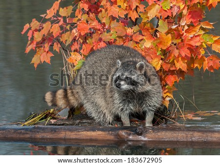 Raccoon (Procyon lotor) Stands Between Logs on Pond - captive animal - stock photo