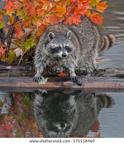 Raccoon (Procyon lotor) Stands Spread Legged on Log in Water - captive animal - stock photo