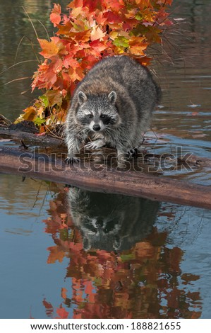 Raccoon (Procyon lotor) Stares at Viewer with Reflection - captive animal - stock photo