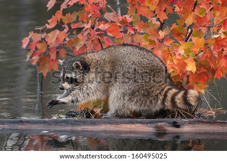 Raccoon (Procyon lotor) Washes Paws - captive animal - stock photo