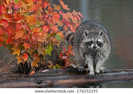Raccoon (Procyon lotor) with Autumn Leaves - captive animal - stock photo