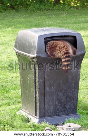 Raccoon scavenging for garbage - stock photo