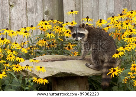 raccoon sips water from a sandstone bird bath. birdbath is surrounded by black eyed susan. raccoon's eyes focus back  as water drips from its mouth - stock photo