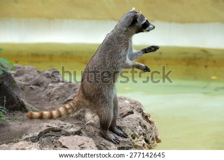 Raccoon sitting and staring intently - stock photo