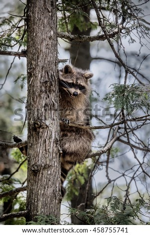 raccoon sitting in a tree