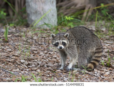 Raccoon standing on forest litter in middle of field in county park