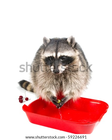 Raccoon washed green grapes in the red basin of water - stock photo