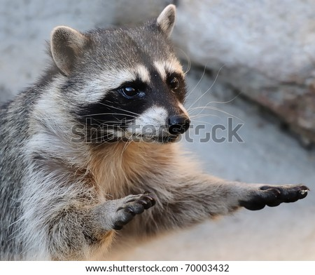 raccoon with hands up - stock photo
