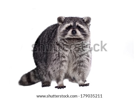 Raccoon (15 years old) - Procyon lotor isolated on the white background