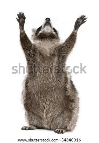 Raccoon, 2 years old, reaching up in front of white background - stock photo