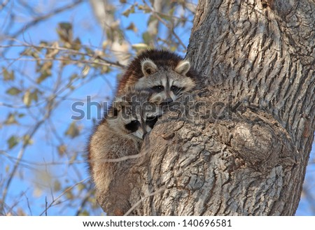 Raccoons in Tree in New York, USA