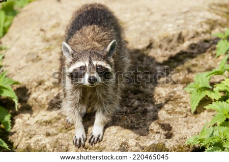 Raccoons look like bandits with a black stripe across their eyes - and not afraid of helping themselves to our detritus  - stock photo
