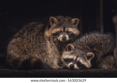 Raccoons looking in the camera