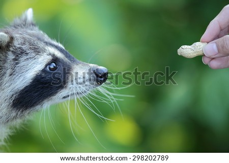 Raccoons (Procyon lotor) are considered nocturnal, with a intelligence that surpasses the fox in some areas.  They also have a good memory having the ability to remember things up to three years.  - stock photo