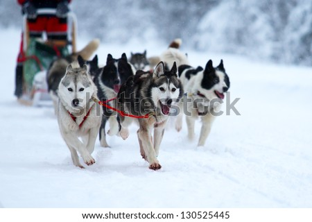 Race of draft dogs - stock photo