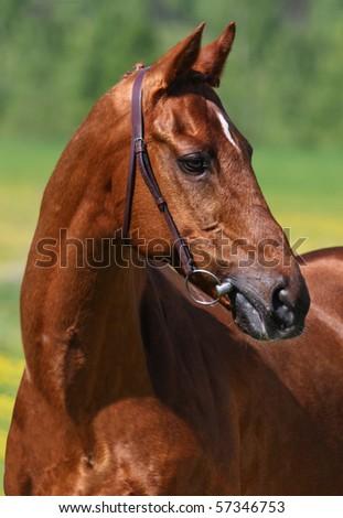 Racehorse - stock photo