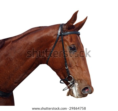 Racehorse After the Race isolated with clipping path