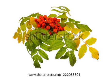 Raceme ripe rowan berries and autumn leaves on a white background - stock photo