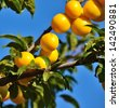 Racemes of exquisite ripe plums hanging from the tree branches on unfocused background and blue sky - stock photo