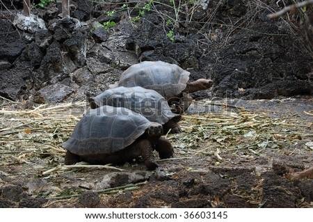 Racing Galapagos Tortoises - stock photo