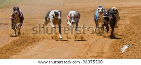 racing greyhounds - stock photo