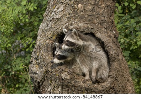Racoon Buddies - stock photo