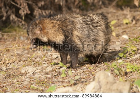 Racoon Dog in autumn