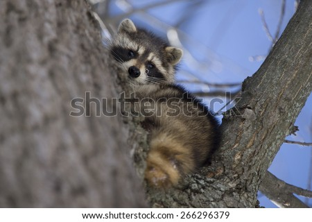Racoon in Winter in Ontaro Canada in tree
