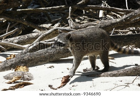 Racoon on the beach in Manuel Antonio National Park (Costa Rica) - stock photo
