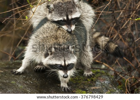 Racoon Procyon lotor caught in the act of procreation