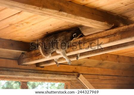 racoon sleep in national park zoo - stock photo