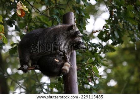 Racoons - stock photo