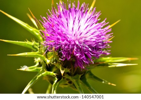 Radiant silybum marianum in all its splendor at the beginning of spring on a unfocused natural green background - stock photo