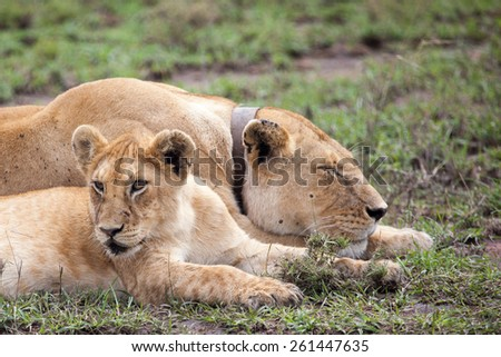 Radio Collared Female African Lioness, Serengeti, Tanzania, East Africa - stock photo