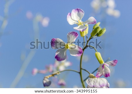 Radish flower against a blue sky / delicate flowers / flowers