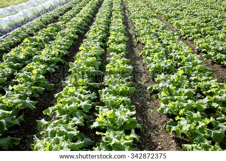 radishes plant in a farm field - stock photo