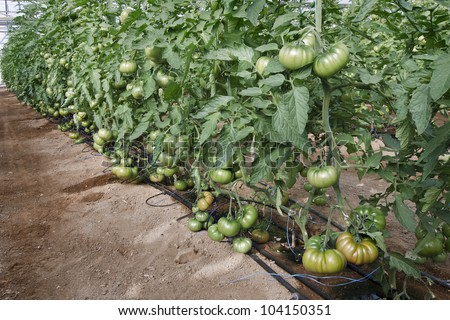 Raf variety tomatoes grown under greenhouses - stock photo