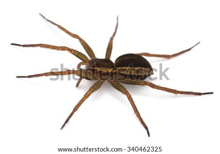 Raft spider, Dolomedes fimbriatus isolated on white background - stock photo